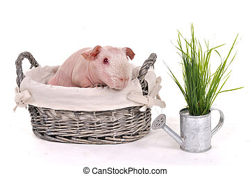 Guinea Pig in a Basket - Bald Skinny Guinea Pig in a Basket