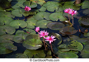 Lotus or water lily in Thale Noi lake and Waterfowl Reserve...