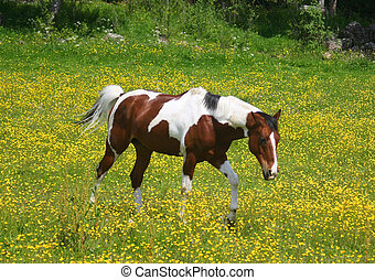 Pinto horse in a yellow field - Beautiful pinto horse in a...