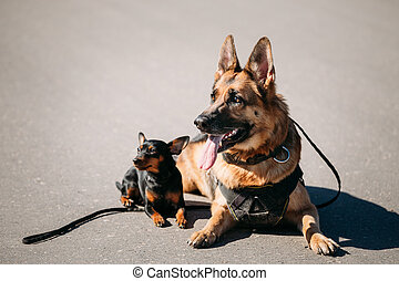 German Sheepdog And Miniature Pinscher Pincher Sitting...
