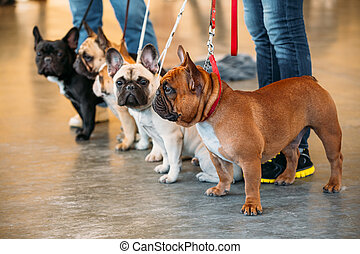 French Bulldogs Are A Different Color Next To Each Other -...