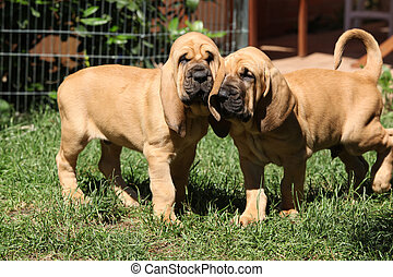 Nice bloodhound puppies moving in the garden
