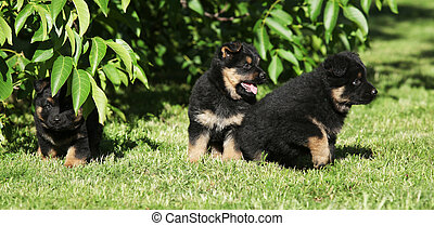 Nice Bohemian shepherd puppies playing in the garden