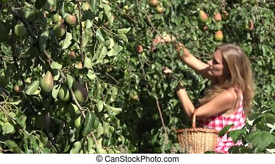Fruiter tree branch full of pears and blurred woman harvesting ripe fruits from tree. 4K