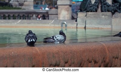 City doves bathe in the fountain at Barcelona