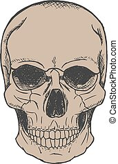 Vector hand drawn skull - Vector hand drawn human skull...