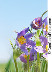 Pasque flower against the blue sky