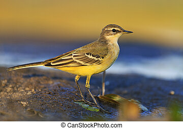 Cute young bird western yellow wagtail - western yellow...