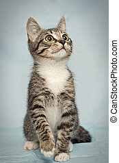 Little curious kitten with big eyes on a blue background