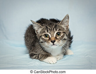 Small frightened kitten with big eyes on a blue background