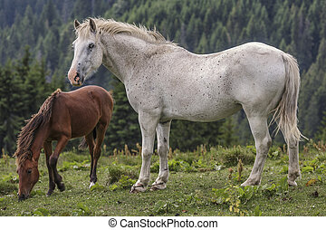 Roan white mare with her foal - Alert roan white mare with...