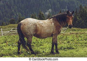 Roan bay stallion grazing in the alpine pasture in...