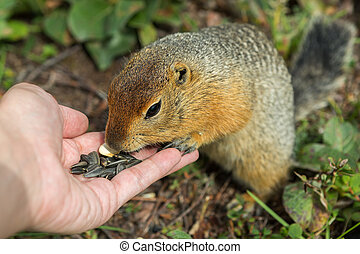 Arctic ground squirrel eats seeds from human hands....