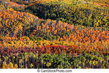 Canopy of Autumn trees in Colorado