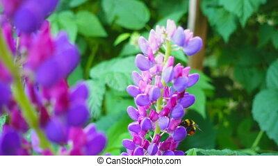 Bumblebee on lupine flowers