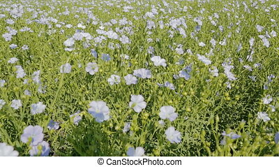 Flowering blue flax field. Beautiful and rich nature of the...
