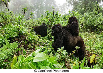 Female mountain gorilla with baby on top - Profile of female...