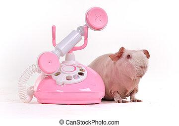 ギニー, 呼出し, 豚