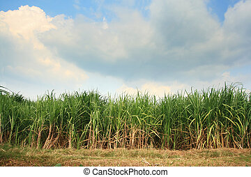 sugar cane plantation - Landscape of sugar cane plantation