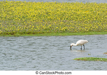 Foraging spoonbill at Dutch wadden island Texel