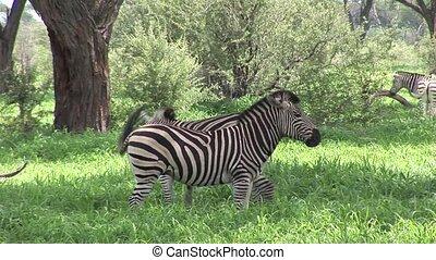 Wild Zebra horse in African Botswan - Botswana wild Africa...