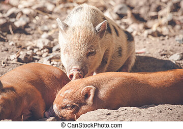 Piglets taking a nap in the sand in a barnyard