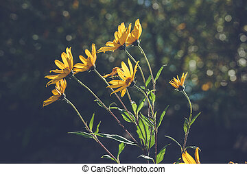 Yellow marguerites in the wind on dark bokeh background