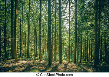Pine trees in a forest clearing with bright sunshine