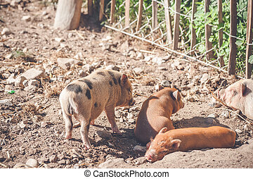 Barnyard with cute piglets in the summertime