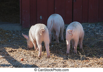 Pink pigs with curly tails at a rural farm in the summer