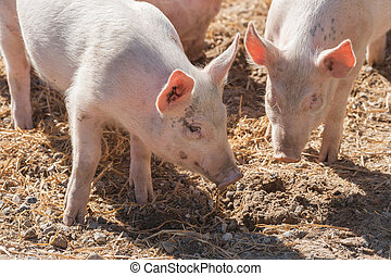 Pink pigs in a pigsty in the spring