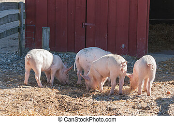 Barnyard with four pink pigs looking for food in the summer
