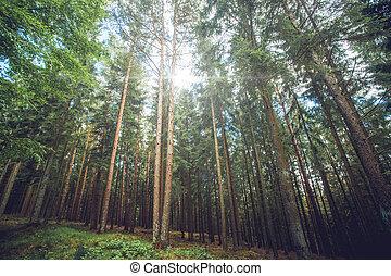 Sunlight shining through tall pine trees