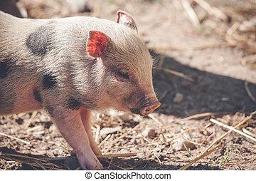 Cute piglet in rural environment at a farm
