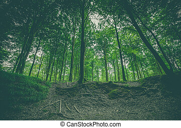 Forest landscape with green beech trees