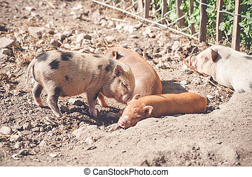 Piglets sleeping in a barnyard in the summer