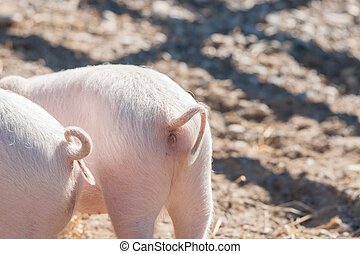 Pig tails on pink piglets in a barnyard