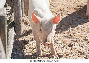 Cute pink pig in a barnyard in the sunshine