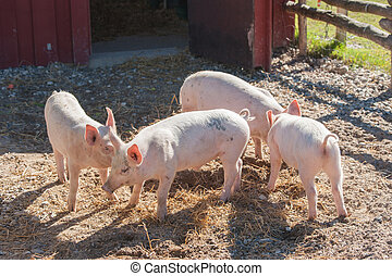 Cute pink piglets in a pigsty at a farm