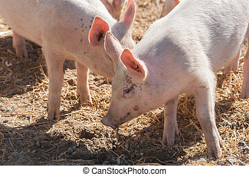 Cute pigs in pink color playing in hay at a farm