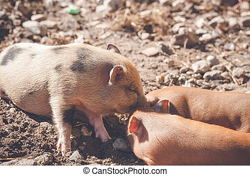Brown piglets at a farm in the summer