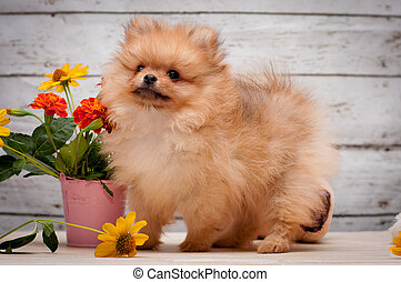 Close Up Portrait of small red Spitz Dog on Colored Background