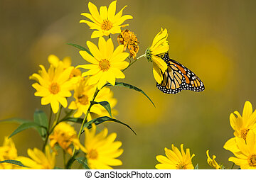 Monarch Butterfly feeding from Compass plants in a prairie...