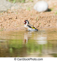 Bathing European goldfinch