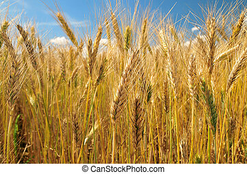 Field of barley on a sunny day