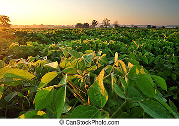 Soybean field at sunrise - Field of soybean in the early...