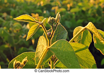Soybean plant - close up - Close up photo of a soybean plant