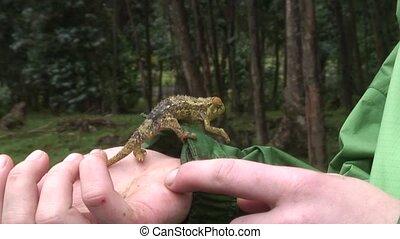 Chameleon Chamaeleonidae reptile - Botswana wild Africa...