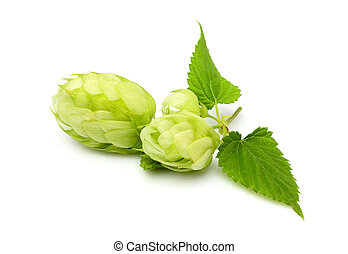 Fresh branch of hops isolated - Fresh branch of hops...