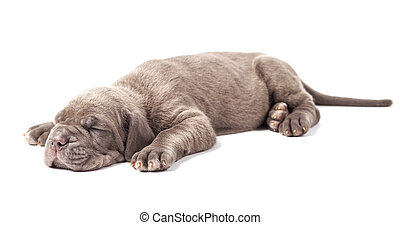Sleeping young puppie italian mastiff cane corso (1 month)...